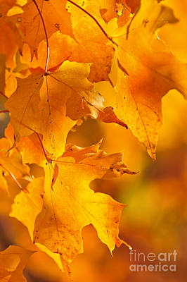 Fall Maple Leaves Poster