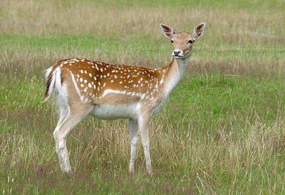 Fallow Deer Doe Poster by Nigel Downer