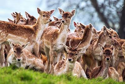 Fallow Deer Poster by Paul Williams