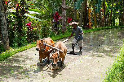 Farmer With Oxen Working In Paddy Poster by Panoramic Images