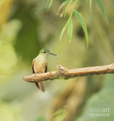 Poster featuring the photograph Fawn-breasted Brilliant Hummingbird by Dan Suzio