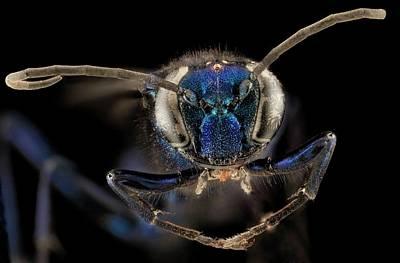 Female Blue Mud Dauber Wasp Poster by Us Geological Survey