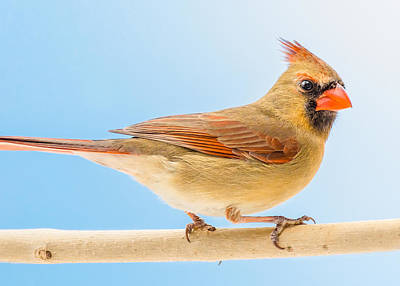 Female Cardinal  Poster by Jim Hughes