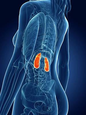 Female Kidneys Poster