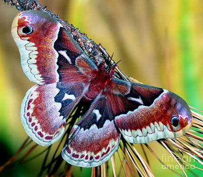 Female Promethea Moth Poster by Millard H. Sharp