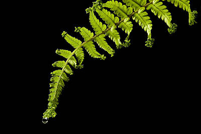 Fern With Raindrop Poster by Trevor Chriss
