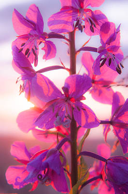 Fireweed At Sunset Poster