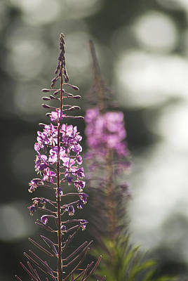 Poster featuring the photograph Fireweed by Yulia Kazansky