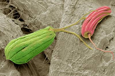 Flagellate Protozoa Poster