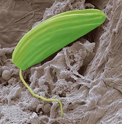 Flagellate Protozoan Poster