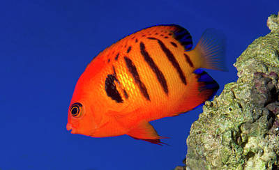 Flame Angelfish Poster