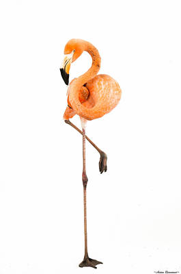 Poster featuring the photograph Flamingo On White by Avian Resources