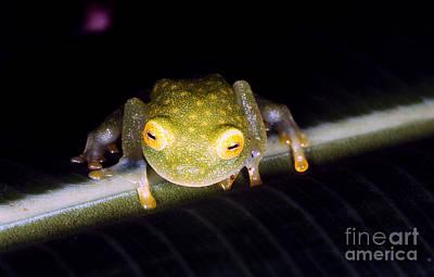Fleischmanns Glass Frog Poster