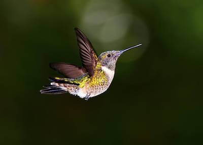 Flight Of A Hummingbird Poster