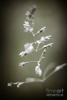 Flowering Grass Poster by Elena Elisseeva