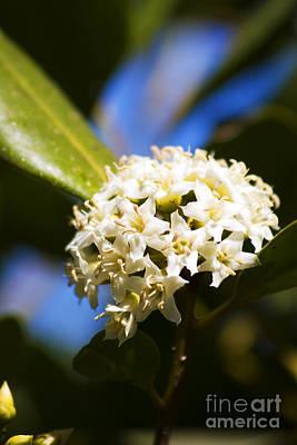 Flowering River Mangrove Poster