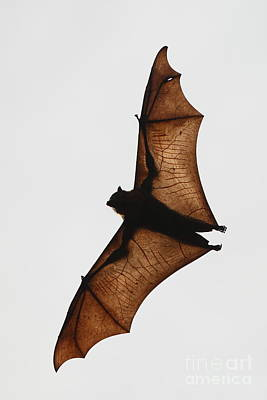 Flying Bat Poster