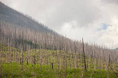 Forest Burnt By Mount Shanks Wild Fire Poster by Ashley Cooper