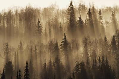 Forest Of Spruce Trees With Mist At Poster by Philippe Henry