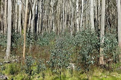 Forest Regeneration After Bushfire Poster by Dr Jeremy Burgess