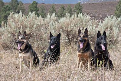 Four German Shepherds Sitting Poster