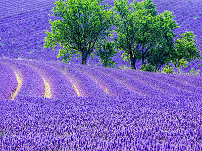 France, Provence, Lavender Field Poster by Terry Eggers