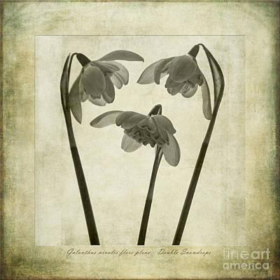 Galanthus Nivalis Flore Pleno Poster by John Edwards