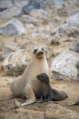 Galapagos Sea Lion And Pup Champion Poster by Tui De Roy