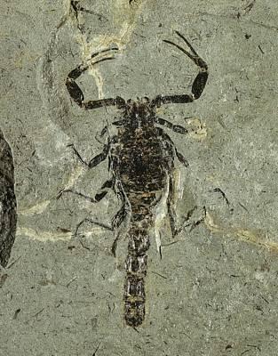 Gallio Scorpion Fossil Poster by Gilles Mermet