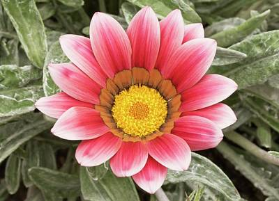Gazania 'frosty Kiss' Flowers Poster