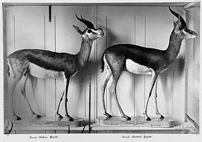 Gazelles In Lower Mammal Gallery Poster by Natural History Museum, London