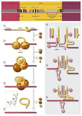 Gene Splicing, Diagram Poster by Art for Science