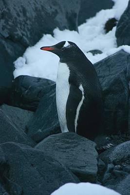 Gentoo Penguin Poster by Amanda Stadther