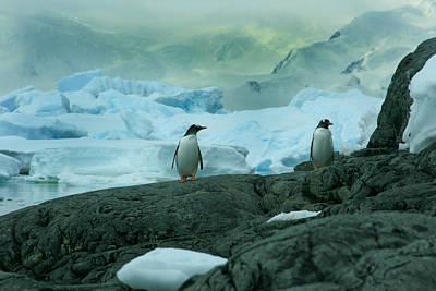Gentoo Penguins Poster by Amanda Stadther