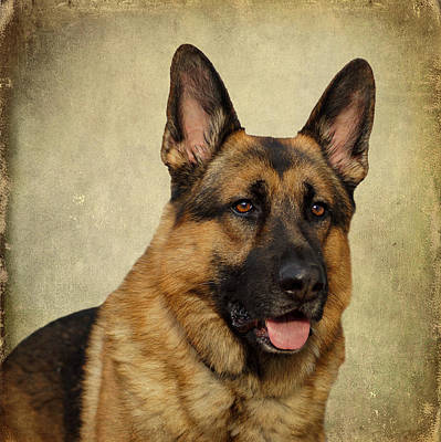 German Shepherd Portrait Poster by Sandy Keeton