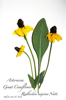 Giant Coneflower Poster