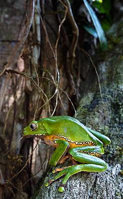 Giant Monkey Frog Phyllomedusa Bicolor Poster