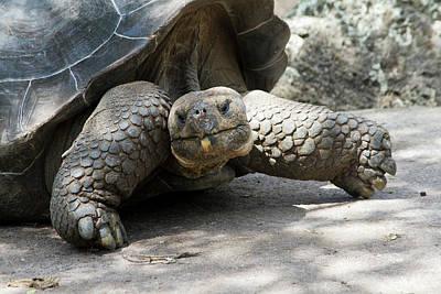 Giant Tortoise In Highlands Of Floreana Poster by Diane Johnson