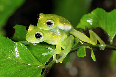 Glass Frogs Mating Poster by Dr Morley Read