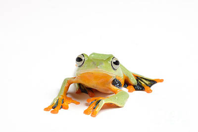 Gliding Frog Poster