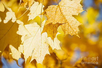 Glowing Fall Maple Leaves Poster by Elena Elisseeva