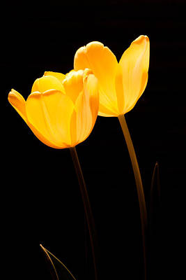 Glowing Tulips II Poster