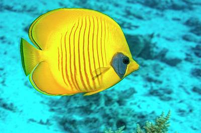 Golden Butterflyfish Over A Reef Poster by Georgette Douwma