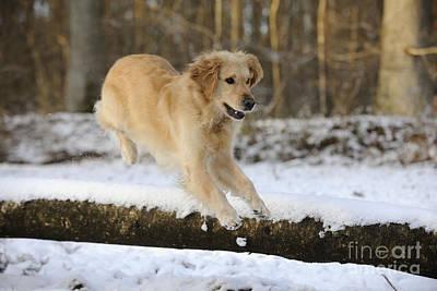 Golden Retriever Jumping Poster