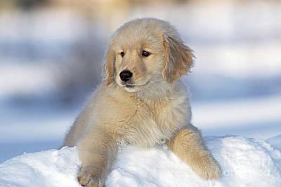 Golden Retriever Puppy Dog Poster