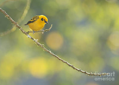 Golden Tanager Poster