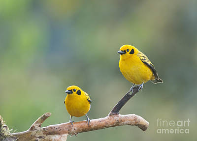 Golden Tanagers Poster