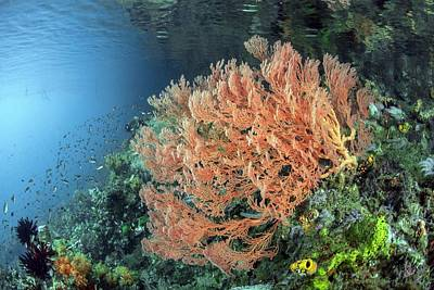 Gorgonian Sea Fan Poster by Ethan Daniels