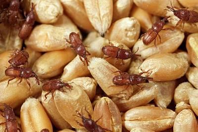 Grain Weevil Poster