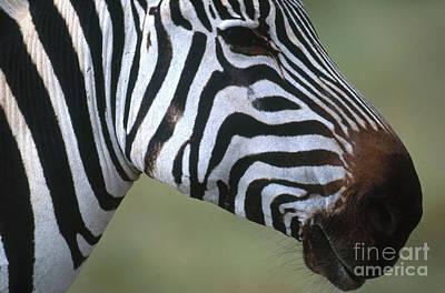 Grants Zebra Poster by Art Wolfe